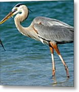 Great Blue Heron With Catch Metal Print