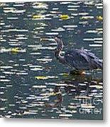 Great Blue Heron With Snack Metal Print