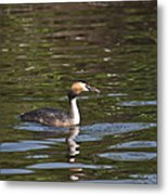 Great Crested Grebe With Breakfast Metal Print