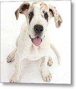 Great Dane Puppy Metal Print