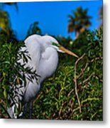 Great Egret In A Tree Metal Print