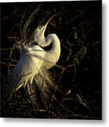 Great Egret In Great Light Metal Print