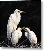Great Egret In Nest With Young Metal Print