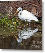Great Egret Searching For Food In The Marsh Metal Print