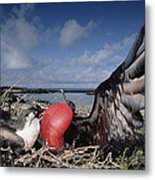 Great Frigatebirds Courting Metal Print
