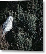 Great Gray Owl Strix Nebulosa In Blonde Metal Print