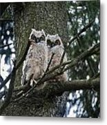Great Horned Owls Young Metal Print