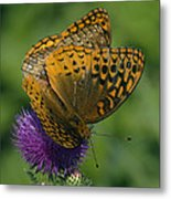 Great Spangled Fritillaries On Thistle Din108 Metal Print