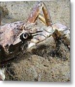 Great Spider Crab Metal Print
