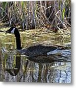 Great Swamp Goose  Metal Print