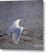 Great White Egret Flight Series - 1 Metal Print