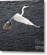 Great White Egret Flight Series - 10 Metal Print
