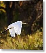 Great White Egret Flight Series - 5 Metal Print