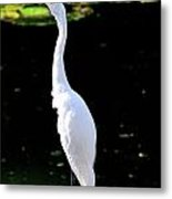 Great White Egret Singing In The Morning Light Metal Print