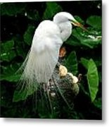 Great White Egret With Breeding Plumage Metal Print