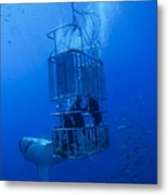 Great White Shark And Divers, Guadalupe Metal Print