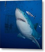 Great White Shark And Pilot Fish Metal Print
