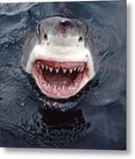 Great White Shark Smile Australia Metal Print by Mike Parry