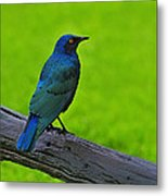 Greater Blue-eared Starling Metal Print