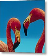 Greater Flamingo Courting Pair Metal Print
