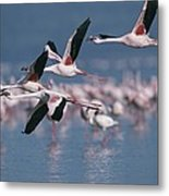 Greater Flamingos In Flight Over Lake Metal Print