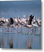 Greater Flamingos Run Through Shallow Metal Print