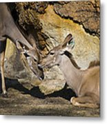 Greater Kudu Affection Metal Print