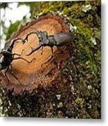 Greater Stag Beetles Metal Print