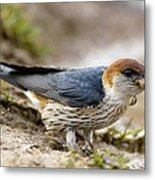 Greater Striped Swallow Metal Print by Peter Chadwick