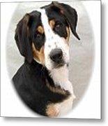 Greater Swiss Mountain Dog 1255 Metal Print