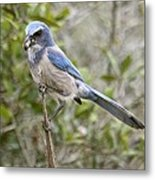 Greedy Florida Scrubjay Metal Print