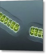 Green Algae, Light Micrograph Metal Print