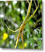 Green Argiope  Metal Print