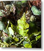 Green Arrowhead Crab, Papua New Guinea Metal Print