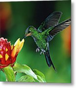 Green Crowned Brilliant Hummingbird Metal Print