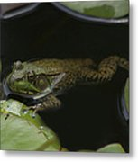 Green Frog And Lily Pads 9613 Metal Print