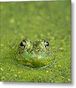Green Frog Eyes Metal Print