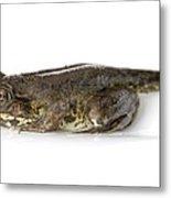 Green Frog Tadpole Metal Print