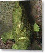 Green Frogfish In Sponge, North Metal Print by Mathieu Meur