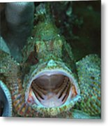 Green Grouper With Open Mouth, North Metal Print
