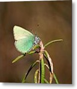 Green Hairstreak Metal Print