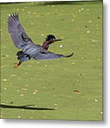 Green Heron In Flight Metal Print