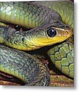 Green Racer Chironius Exoletus Metal Print