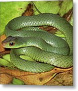 Green Racer Drymobius Melanotropis Amid Metal Print