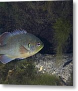 Green Sunfish Swimming Along The Rocky Metal Print
