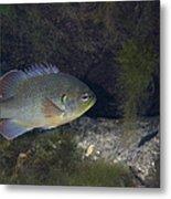 Green Sunfish Swimming Along The Rocky Metal Print