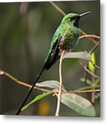 Green Tailed Trainbearer Hummingbird Stylized Metal Print