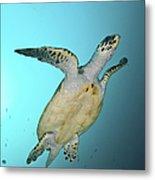 Green Turtle Swimming, Sabah, Malaysia Metal Print