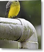 Grey-capped Flycatcher Metal Print