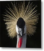 Grey Crowned Crane Balearica Regulorum Metal Print